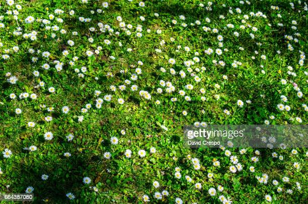 Grass with daisies