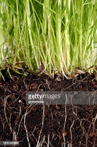 Grass with exposed roots growing down thru dirt soil closeup