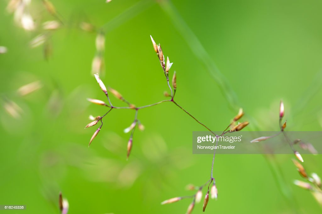 Grass with green background : Stock Photo