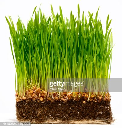 Grass with soil and roots on white background : Stock Photo