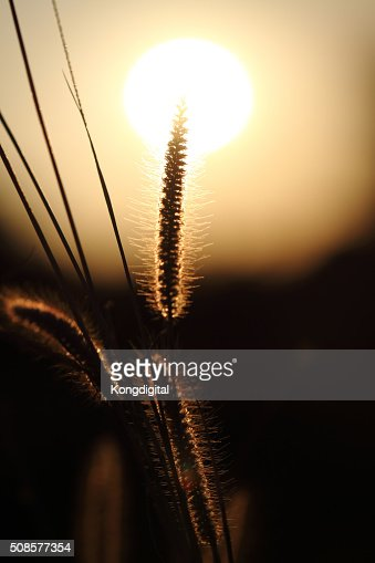Grass with the sun : Stock Photo