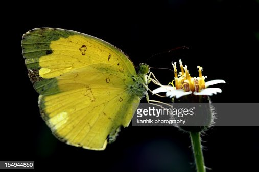 Grass Yellow Butterfly Collecting Nectar : Stock Photo