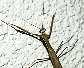 grasshopper climbing the wall,the entrance of the locusts into the house, the head and feet of the locust, the grasshopper paintings seen on the white wall,
