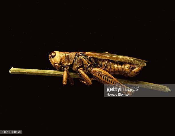 Grasshopper Clings to Stem