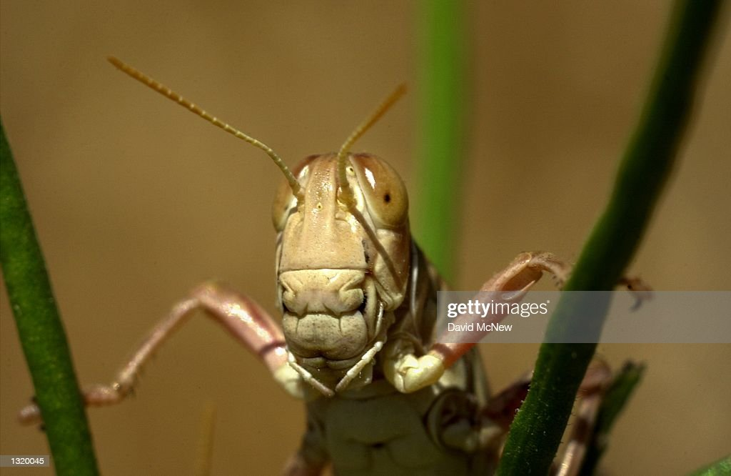 A grasshopper clings to the grasses of the Carrizo Plain National Monument June 1 2001 President Bill Clinton established the national monument in...