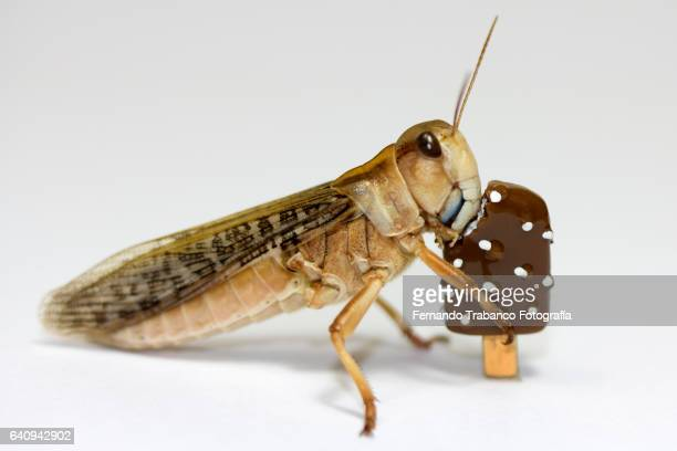grasshopper eating chocolate ice cream and whipped cream in hot summer