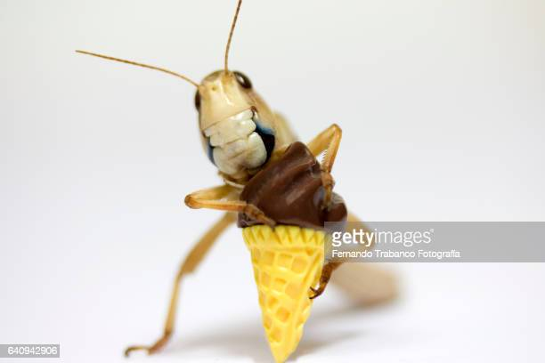 Grasshopper eats a chocolate cornet