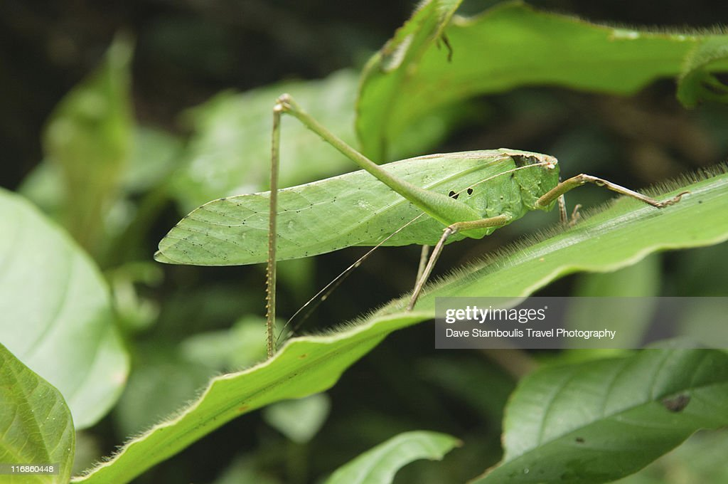 Grasshopper in Mulu National Park : Stock Photo