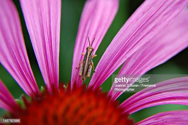 Grasshopper in purple