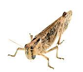 grasshopper locust on white background