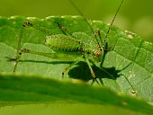 Young green grasshopper