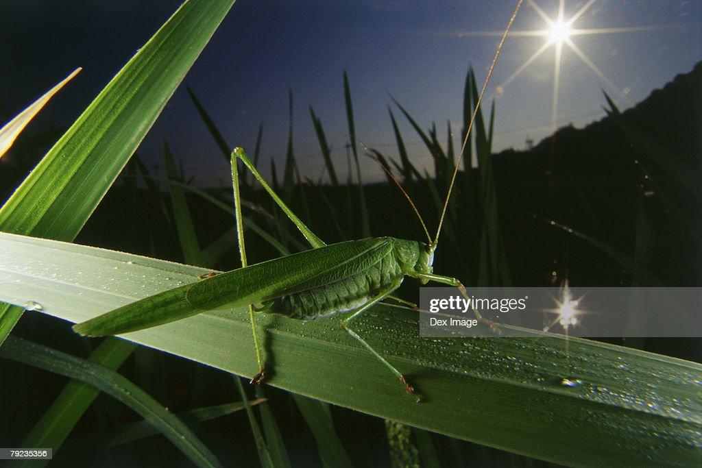 Grasshopper on blade of grass, close up : Stock Photo