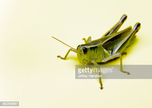 Grasshopper : Stock Photo
