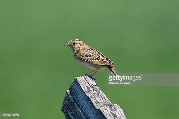 Grasshopper Sparrow (Ammodramus savannarum) Against Green Muted Background