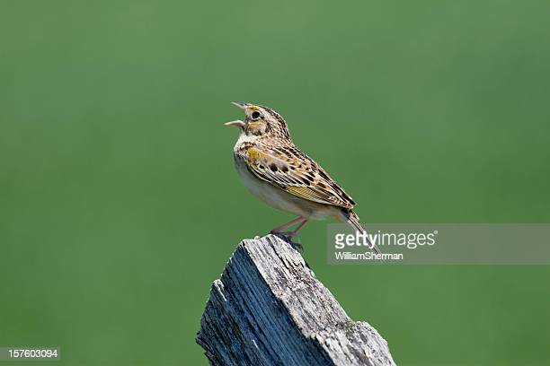 Grasshopper Sparrow (Ammodramus savannarum) Singing From a Fencepost