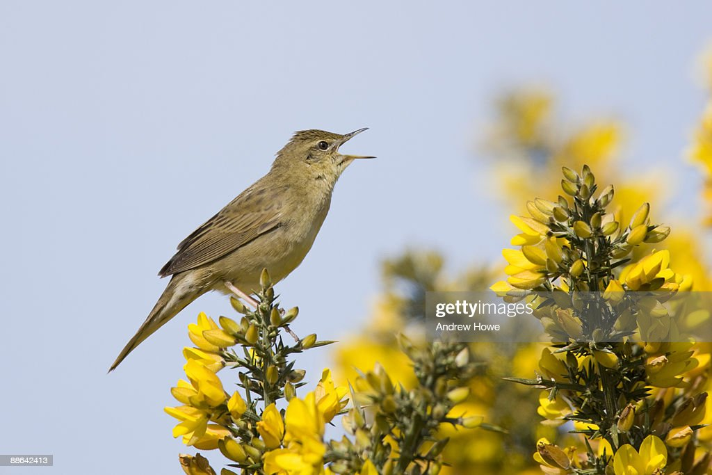Grasshopper Warbler (Locustella naevia) : Stock Photo