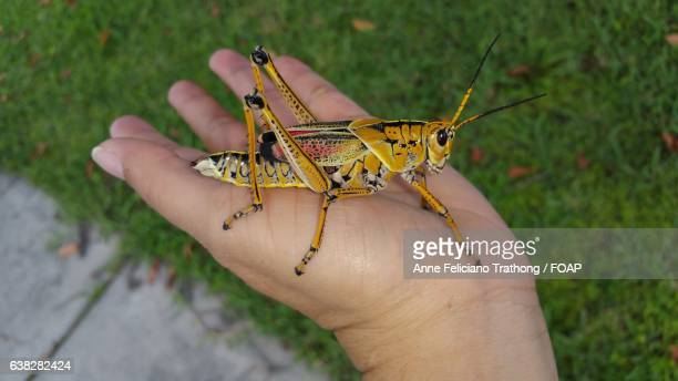 Grasshopper with person's hand