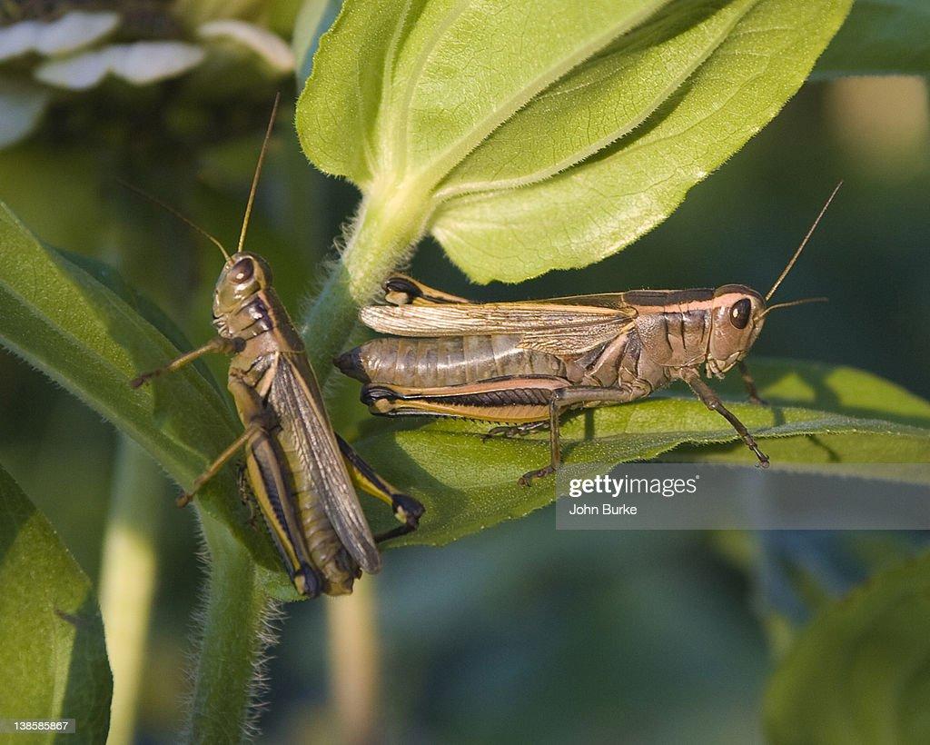 Grasshoppers : Stock Photo
