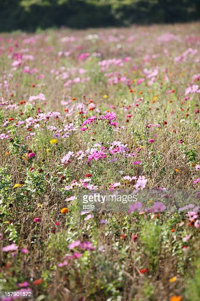 Grassland Field In Blossom At Fall In Picardy FrancePink Flowers Are Cosmos