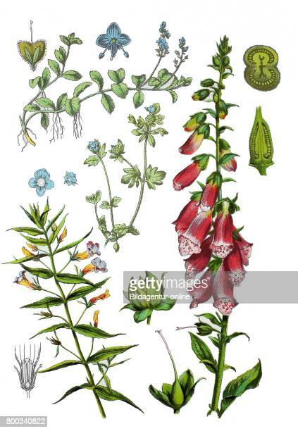 Gratiole common hedgehyssop or herb of grace Gratiola officinalis common foxglove purple foxglove Digitalis purpurea heath speedwell Veronica...