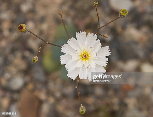 A Gravel Ghost wildflower is seen in Death Valley National Park in Death Valley California March 3 2016 Unusally heavy rainfall in October trigged a...