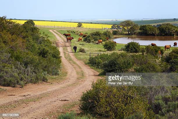 Gravel road leading up to a farmhouse with a dam and Canola fields in the background, Swellendam area, Western Cape Province, South Africa