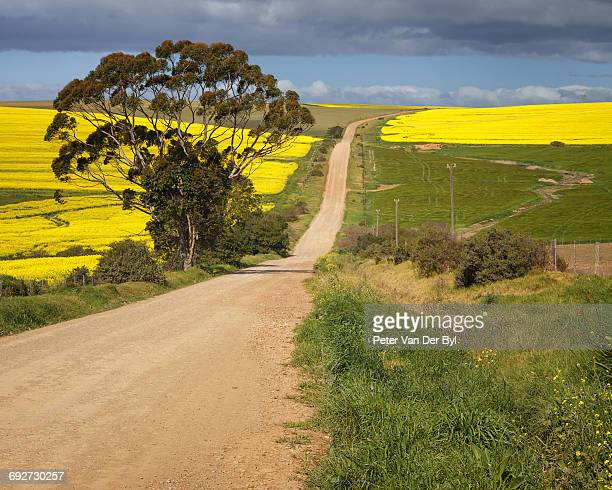 Gravel road through the canola fields flanked by wheat fields and a large tree, Swellendam, Western Cape South Africa