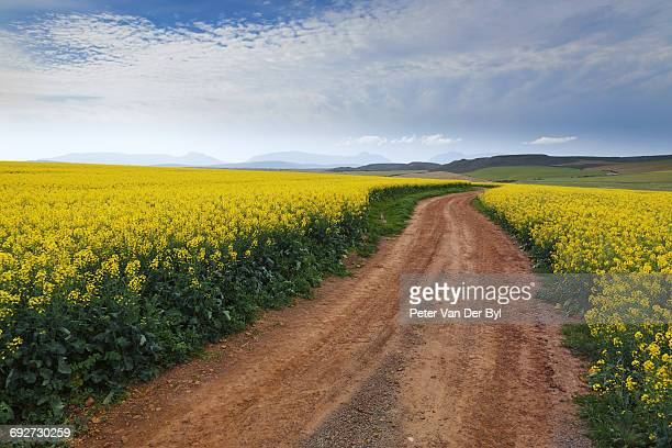 Gravel road winding through the flowering yellow Canola fields under a cloudy sky, Swellendam area, Western Cape Province, South Africa