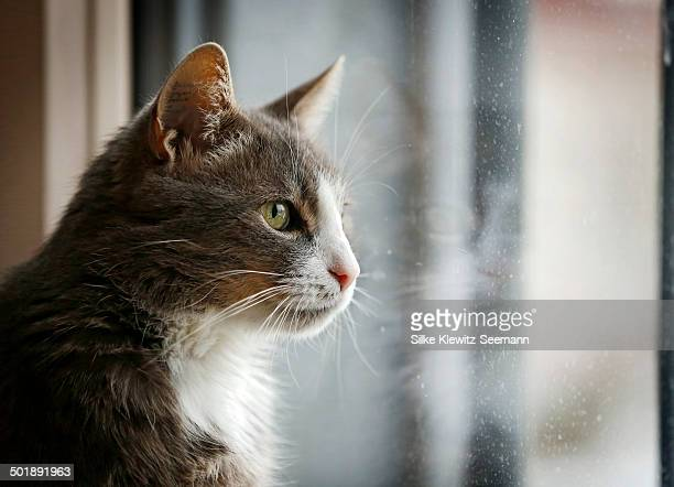 Gray and white cat looking out of a window, portrait, Germany