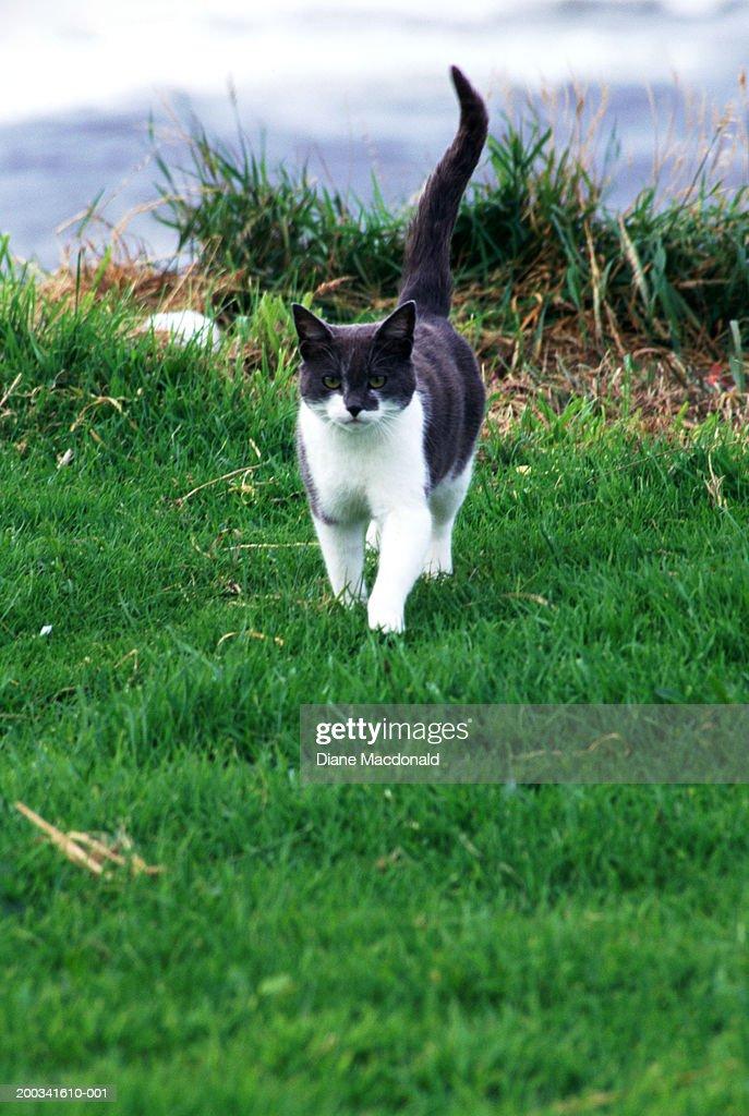 Gray and white cat walking : Stock Photo