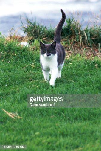 Gray and white cat walking : Stockfoto