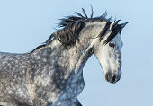 Gray Andalusian Horse in motion. Portrait of Spanish horse on blue sky.