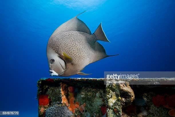 Gray Angelfish above Shipwreck