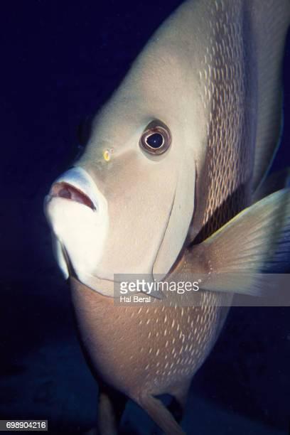 Gray Angelfish close-up