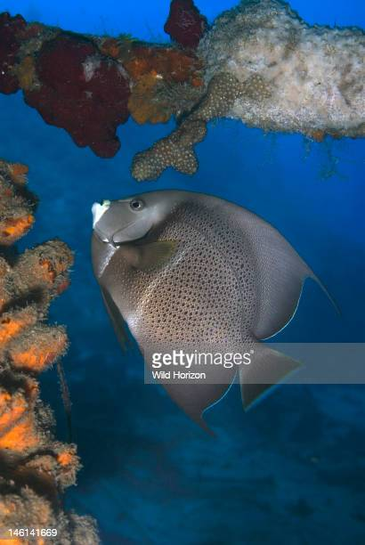 Gray angelfish feeding on sponge Pomacanthus arcuatus Curacao Netherlands Antilles Digital Photo