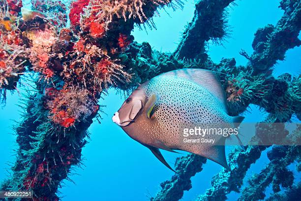 A Gray Angelfish in a shipwreck