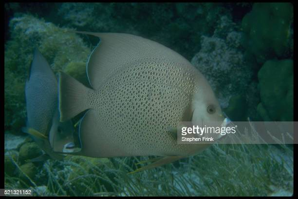 Gray Angelfish in Turtle Grass