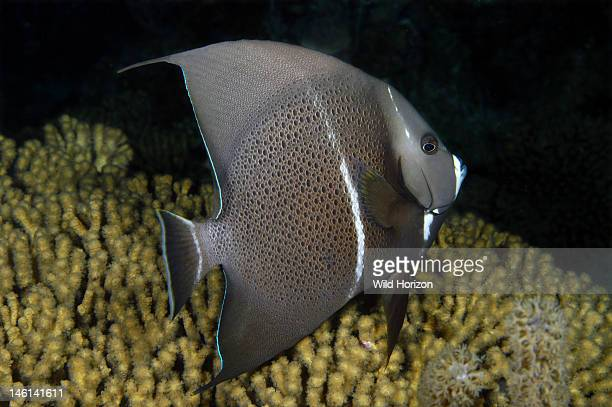 Gray angelfish intermediate Pomacanthus arcuatus Curacao Netherlands Antilles Digital Photo
