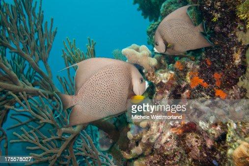 Gray Angelfish : Photo