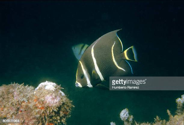 Gray Angelfish(Juvenile).