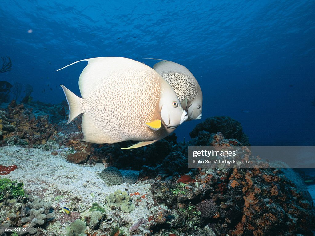 Gray Angelfish : Stock Photo