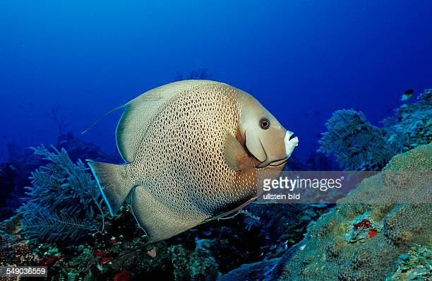 Gray angelfish Pomacanthus arcuatus Bahamas Atlantic Ocean