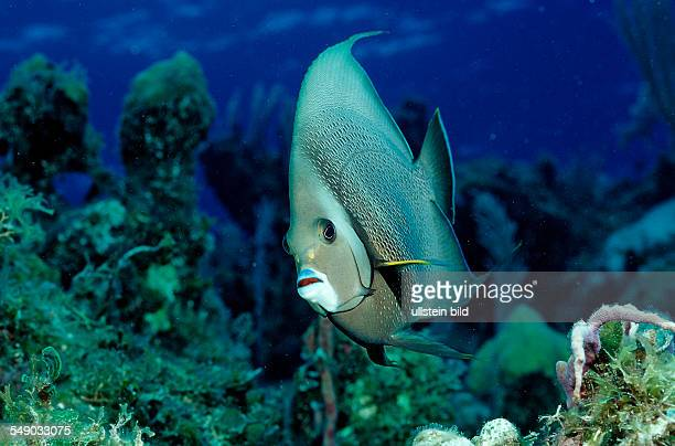 Gray angelfish Pomacanthus arcuatus British Virgin Islands BVI Caribbean Sea Leeward Islands