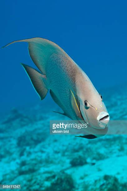 Gray Angelfish Pomacanthus arcuatus Cozumel Caribbean Sea Mexico