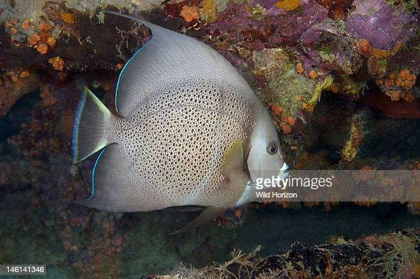 Gray angelfish Pomacanthus arcuatus Curacao Netherlands Antilles Digital Photo