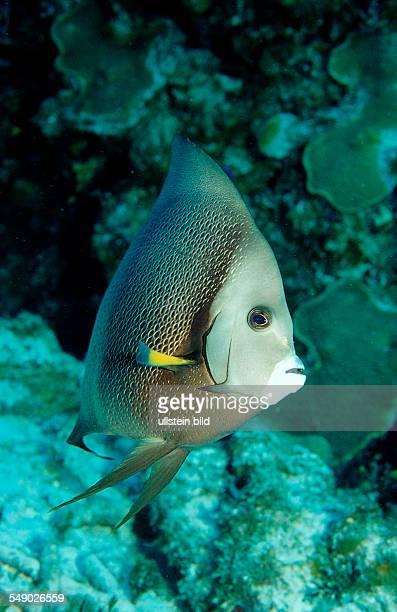 Gray Angelfish Pomacanthus arcuatus Mexico Mexiko Yucatan Caribbean Sea