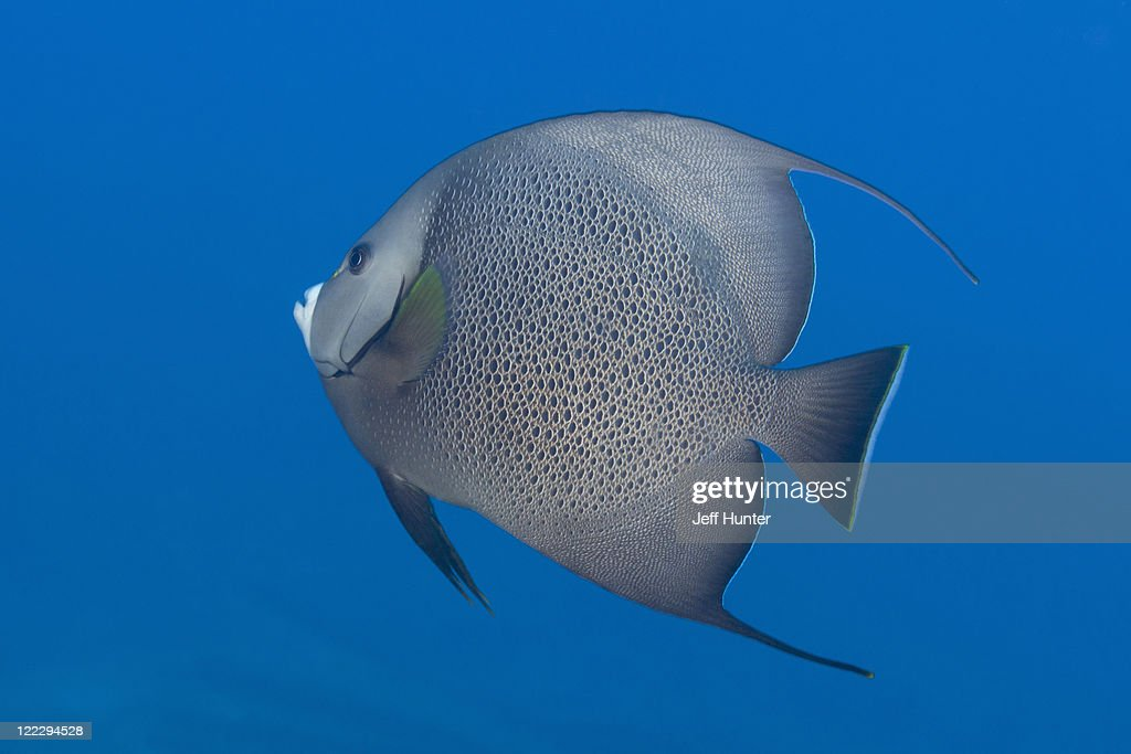 Gray Angelfish swimming in open water, Caribbean : Stock Photo