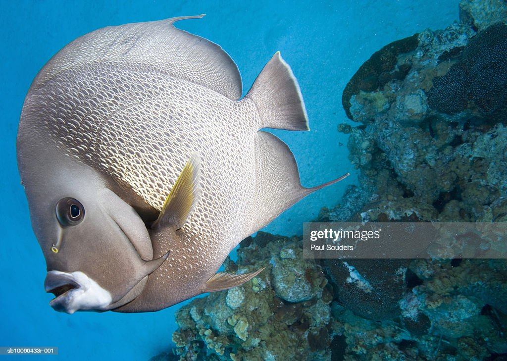 Gray Angelfish (Pomacanthus arcuatus) swimming near coral reef : Stock Photo