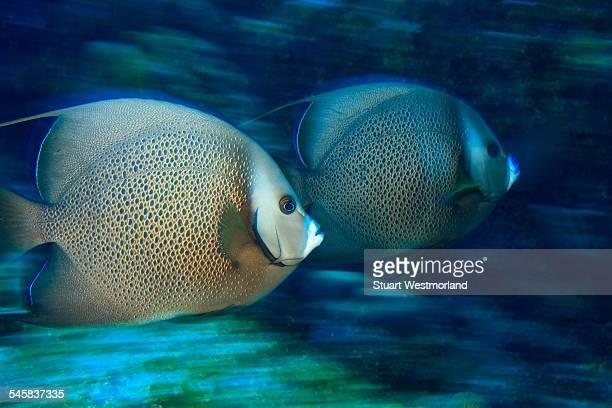 Gray Angelfish, Utila, North Side, Bay Islands, Honduras