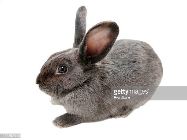 Gray Bunny Rabbit Isolated on White Background